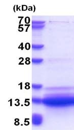 SDS-PAGE - Recombinant Human SVIP protein (ab180324)