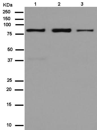 Western blot - Anti-ZNF699 antibody [EPR13383] (ab180491)