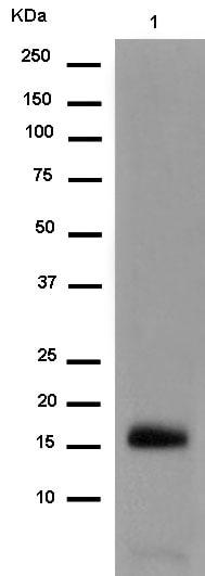 Western blot - Anti-RBP2 antibody [EPR12334] (ab180494)