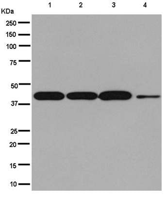 Western blot - Anti-TOB2 antibody [EPR12588] - N-terminal (ab180514)