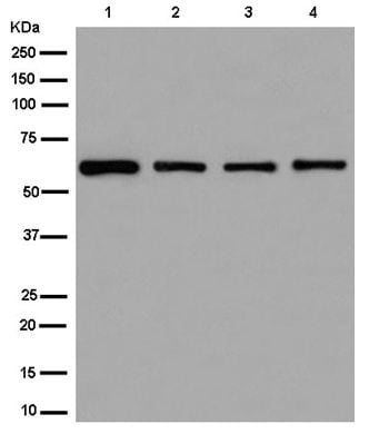 Western blot - Anti-ZNF529 antibody [EPR13674] (ab180526)