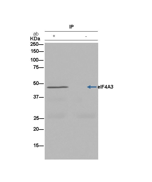 Immunoprecipitation - Anti-eIF4A3 antibody [EPR14301(B)] (ab180573)