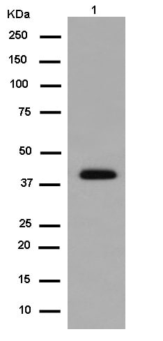 Western blot - Anti-Zinc Alpha 2 Glycoprotein antibody [EPR14425(B)] (ab180574)