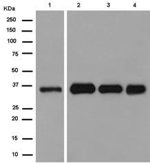 Western blot - Anti-Cathepsin Z antibody [EPR14357] (ab180580)