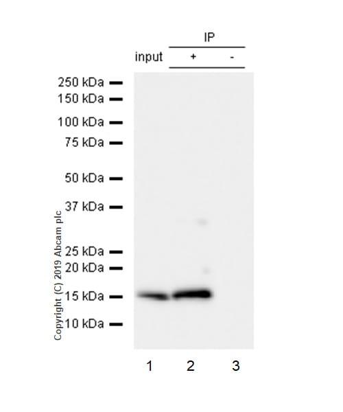 Immunoprecipitation - Anti-Peroxiredoxin 5 antibody [EPR14529(B)] (ab180587)