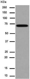 Western blot - Anti-GBE1 antibody [EP11113] (ab180596)