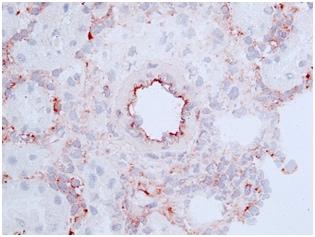 Immunohistochemistry (Frozen sections) - Anti-CD46 antibody [MM1] (ab180652)