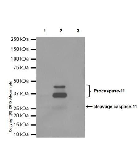Immunoprecipitation - Anti-Caspase-11 antibody [EPR18628] (ab180673)