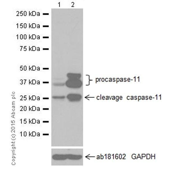 Western blot - Anti-Caspase-11 antibody [EPR18628] (ab180673)