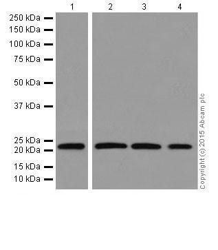 Western blot - Anti-Rac1 + Rac2 + Rac3 antibody [EPR18631] (ab180683)