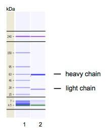 Other - Anti-EPO-R antibody [VP2E8] (ab180791)