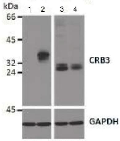 Western blot - Anti-CRB3 antibody [14F9] (ab180835)