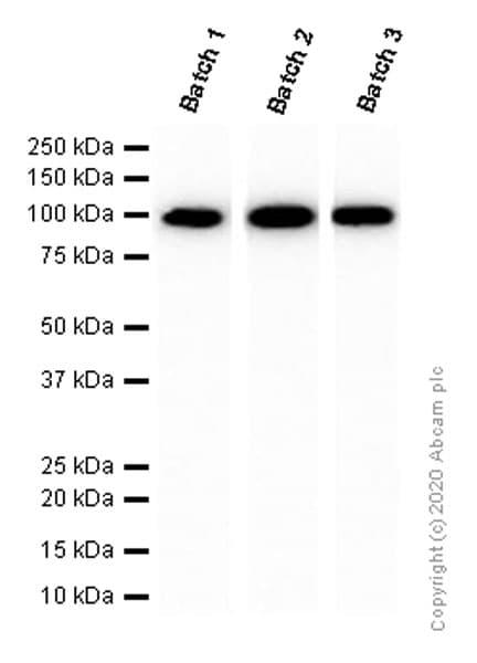 Western blot - Anti-Nrf2 antibody [EP1808Y] - BSA and Azide free (ab180845)