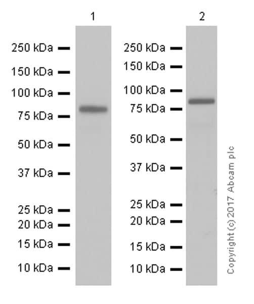 Western blot - Anti-CLCA1 antibody [EPR12254-88] (ab180851)