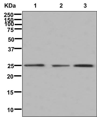 Western blot - Anti-AWP1 antibody [EPR12323] (ab180856)