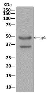 Immunoprecipitation - Anti-PPA2 antibody [EPR13086] (ab180859)