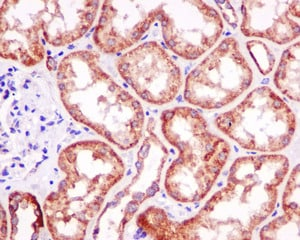 Immunohistochemistry (Formalin/PFA-fixed paraffin-embedded sections) - Anti-PPA2 antibody [EPR13086] (ab180859)