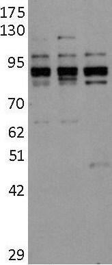 Western blot - Anti-DYRK1A antibody - C-terminal (ab180910)