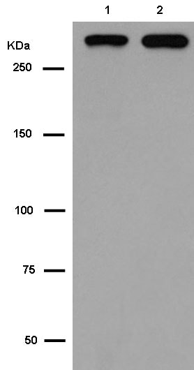 Western blot - Anti-Filamin C antibody [EPR14498(B)] (ab180941)