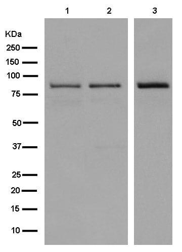 Western blot - Anti-GGA3 antibody [EPR14340] (ab180951)