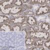 Immunohistochemistry (Formalin/PFA-fixed paraffin-embedded sections) - Anti-PAR2 antibody [EPR13675] (ab180953)
