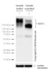 Western blot - Anti-MRP1 antibody [EPR4658(2)] - C-terminal (ab180960)