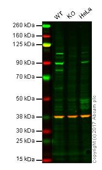Western blot - Anti-PI 3 Kinase p85 beta antibody [EPR18416] (ab180967)
