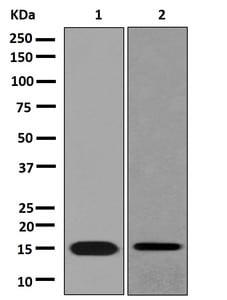 Western blot - Anti-CXCL11 antibody [EPR11076] (ab181035)