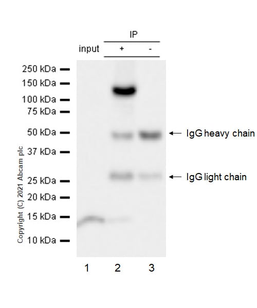 Immunoprecipitation - Anti-MMS22L (C6ORF167) antibody [EPR13654] (ab181047)