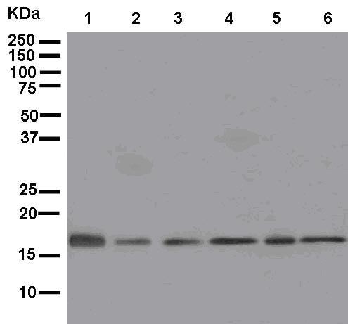 Western blot - Anti-MRPL20 antibody [EPR12592] (ab181058)