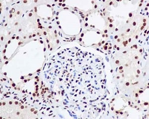 Immunohistochemistry (Formalin/PFA-fixed paraffin-embedded sections) - Anti-UAP56 antibody [EPR13144] (ab181059)