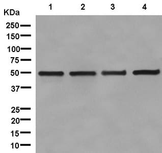 Western blot - Anti-UAP56 antibody [EPR13144] (ab181059)