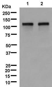 Western blot - Anti-BRD1/BRL antibody [EPR12960] (ab181060)