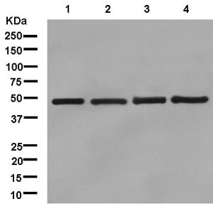 Western blot - Anti-UAP56 antibody [EPR13144-62] (ab181061)