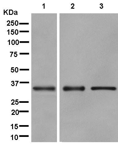 Western blot - Anti-TTC19 antibody [EPR13184] - C-terminal (ab181069)