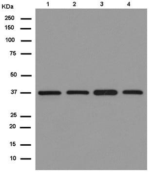 Western blot - Anti-PSMD7/Mov34 antibody [EPR13517] (ab181072)