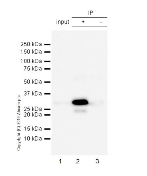 Immunoprecipitation - Anti-SEC22B antibody [EPR12335] (ab181076)