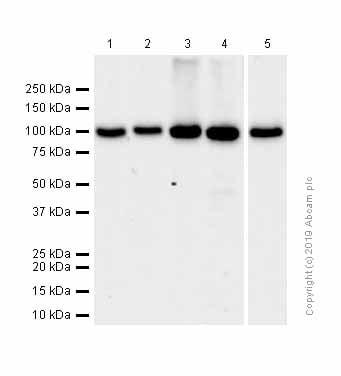 Western blot - Anti-VPS41 antibody [EPR13268] (ab181078)