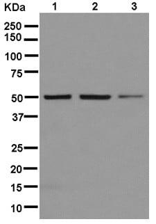 Western blot - Anti-RBMS3+ RBMS1 antibody [EPR12905] (ab181082)