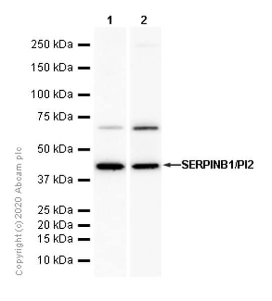 Western blot - Anti-SERPINB1/PI2 antibody [EPR13305(B)] (ab181084)