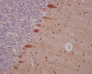 Immunohistochemistry (Formalin/PFA-fixed paraffin-embedded sections) - Anti-Parvalbumin antibody [EPR13091] (ab181086)