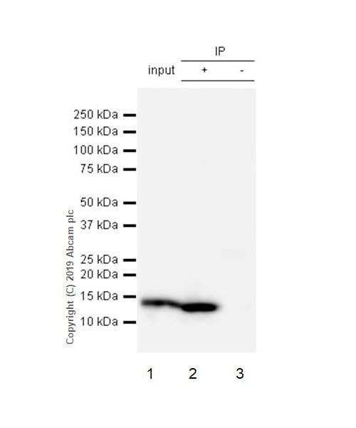 Immunoprecipitation - Anti-Parvalbumin antibody [EPR13091] (ab181086)