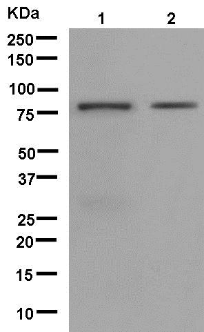 Western blot - Anti-DUSP16 antibody [EPR13583] (ab181088)