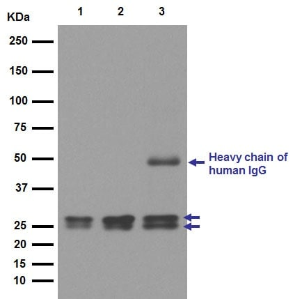 Western blot - Anti-RBPMS2 antibody [EPR13121-79] (ab181098)