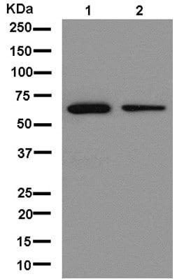 Western blot - Anti-L12 antibody [EPR13241] (ab181100)