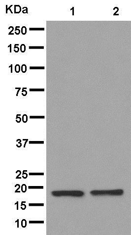 Western blot - Anti-RPL26L1 antibody [EPR8479] (ab181110)