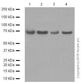 Western blot - Anti-FUBP1/FBP antibody [EPR12327] (ab181111)