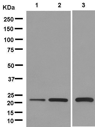 Western blot - Anti-PSF1 antibody [EPR13359] (ab181112)