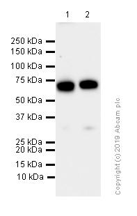 Western blot - Anti-Raf1 antibody [EP4969] - N-terminal (ab181115)