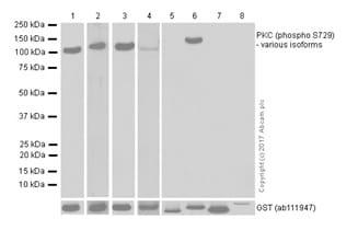 Western blot - Anti-PKC (phospho S729) antibody [EPR1483(N)] - Carrier Free (ab181119)